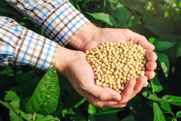 Eine Handvoll Sojabohnen in einem Ackerfeld